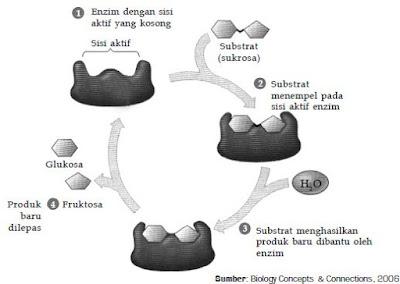 Pengertian, Struktur, Sifat-Sifat, Mekanisme dan Cara Kerja, Susunan, Tata Nama dan Penggolongan, Macam-Macam Peranan serta Faktor Yang Mempengaruhi Kerja Enzim Dalam Proses Metabolisme