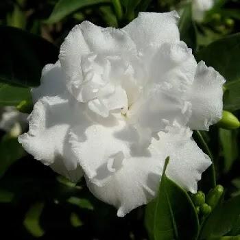 तगर, Crape Jasmine Flowers Name In Marathi