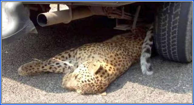 Leopard Run Over By Car in Darjeeling Hills died
