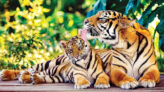 International Tiger Day 2021: Know about India Tiger Reserves