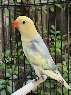 Lelang LoveBird Istimewa