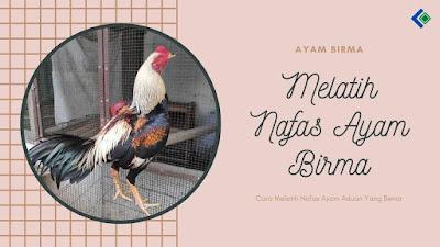 Cara Melatih Nafas Ayam Birma Aduan Yang Benar
