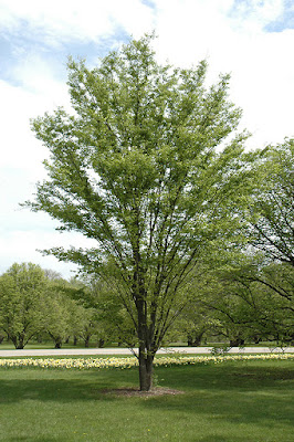 Zelkova tree pros and cons