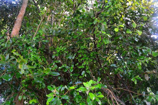 Adenia gummifera