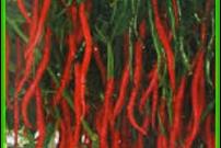 Kunci Sukses (Persiapan Lahan dan Penanaman) Budidaya Cabai Merah