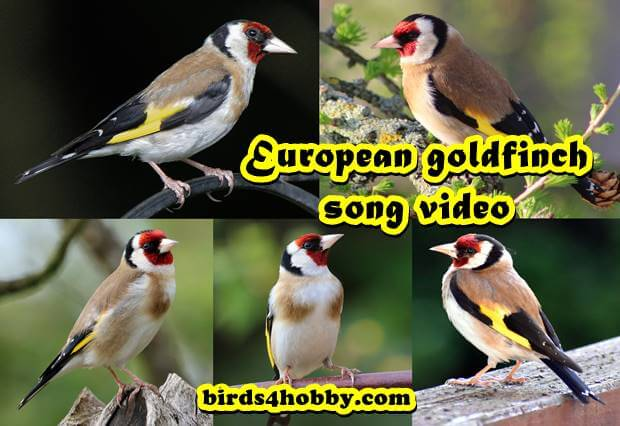 European goldfinch song video   european goldfinch song male best singing