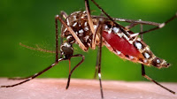 The Aedes aegypti mosquito can transmit the Zika virus to humans. (Credit: James Gathany/Associated Press) Click to Enlarge.