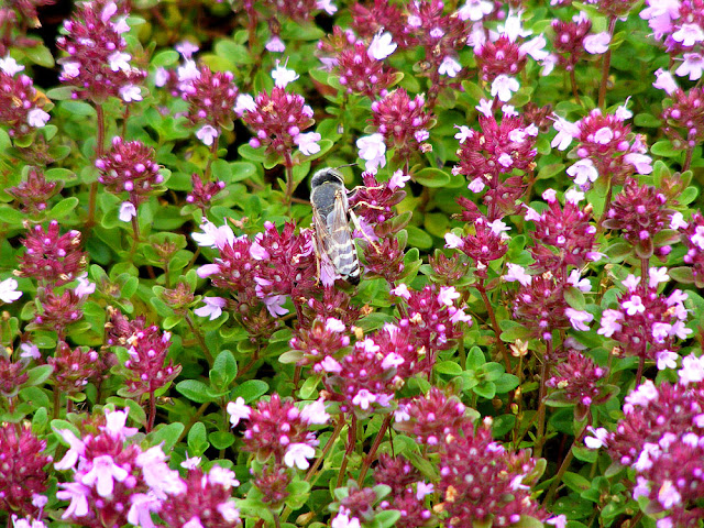 Male sand wasp Bembix oculata nectaring on wild thyme. Indre et Loire. France. Photo by Susan Walter.