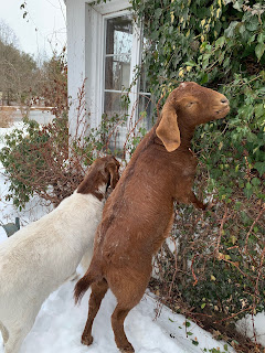 Two goats eating ivy.