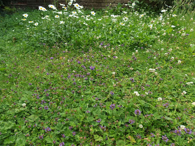 Ox-eye daisies and self-heal on my lawn