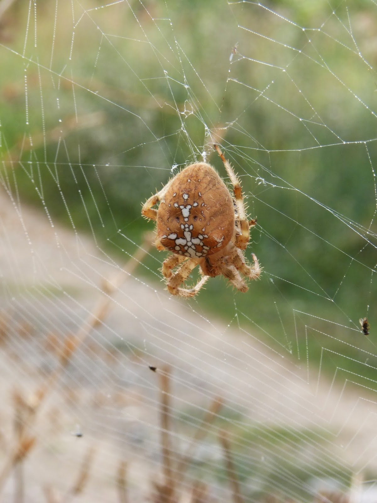 Picture of a orb web spider.