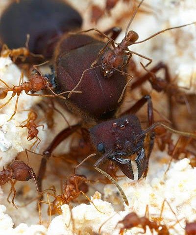 Beetle Boy's BioBlog: Species of the Week: Leafcutter Ants