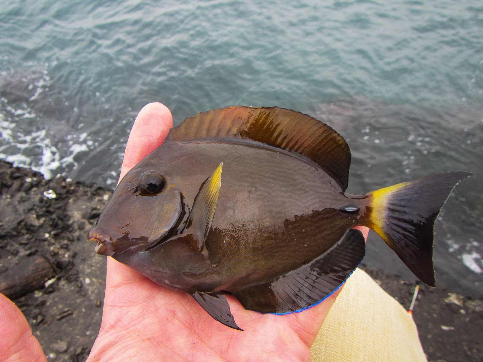 德先生魚筆記: 杜氏刺尾鯛