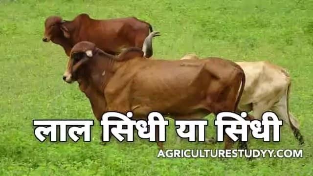 लाल सिंधी या सिंधी नस्ल की गाय के बारे में पूरी जानकारी