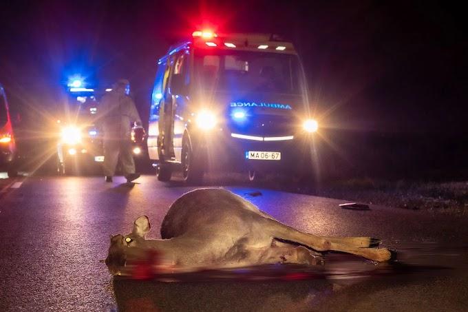 Szarvassal ütközött egy Covid-beteget szállító mentőautó