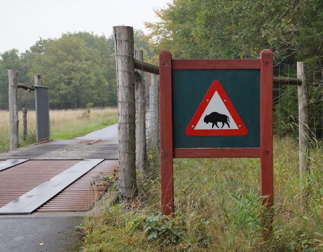Träumen von Bornholm: 10 Dinge, nach denen wir uns sehnen. Eine Sache, die noch aussteht: die Bisons im Wald von Almindingen finden!