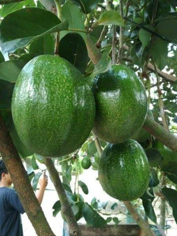 Stok melimpah! Bibit tanaman buah alpukat markus Kota Surabaya #bibit buah genjah termurah
