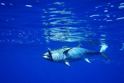Klasifikasi Ikan Tuna dan Morfologi Ikan Tuna (Thunnus sp)