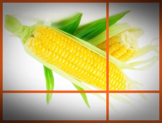 gambar budidaya tanaman jagung hibrida 2016