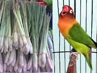 Manfaat Rebusan Serai Untuk Lovebird: Membuat Lovebird Ngekek Panjang