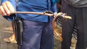 Berikut alasanya ular kepala dua jangan dibunuh
