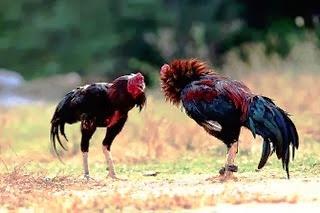 Sejarah Ayam Pakhoy
