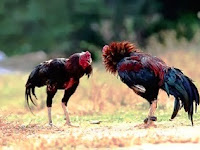 Mengungkap Sejarah Ayam Pakhoy Dari Negeri Jiran