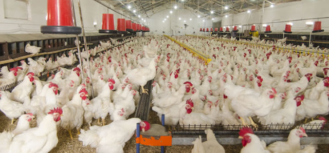 Starting Poultry Farming Business