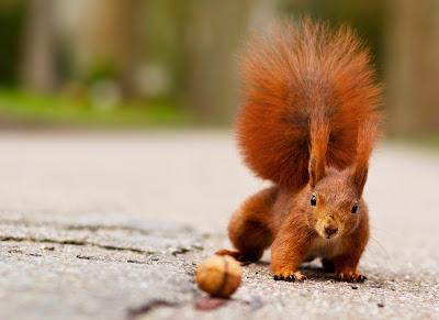 Eichhörnchen nähert sich einer Walnuss - Eichhörnchen Foto