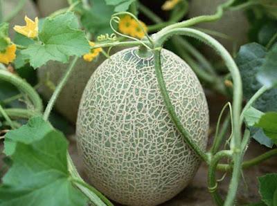 El cultivo del Melón