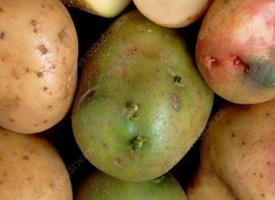هل الجزء الأخضر من البطاطس سام؟ ما يجب أن تعرفه