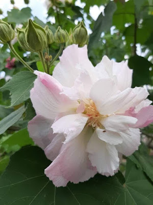 Bunga Baba Pukul Nyonya, Hibiscus Mutabilis