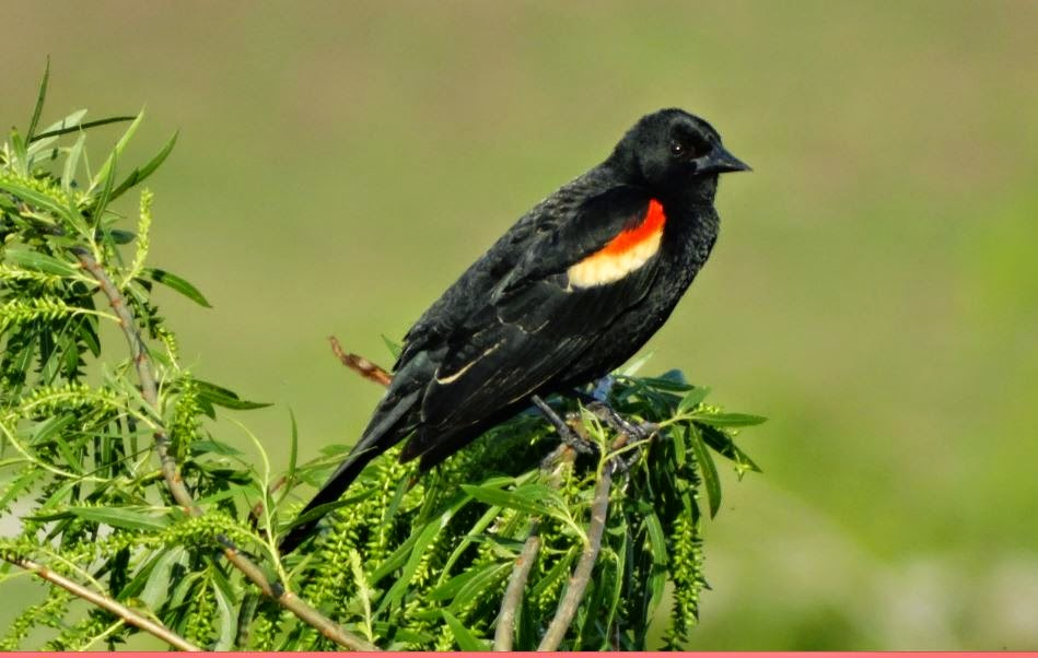 Red-winged blackbird with red shoulder patches (photo)