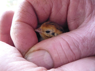Organically raised quail chick