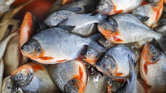 Pusat Supplier Jual Ikan Bawal Bibit & Konsumsi di Yogyakarta
