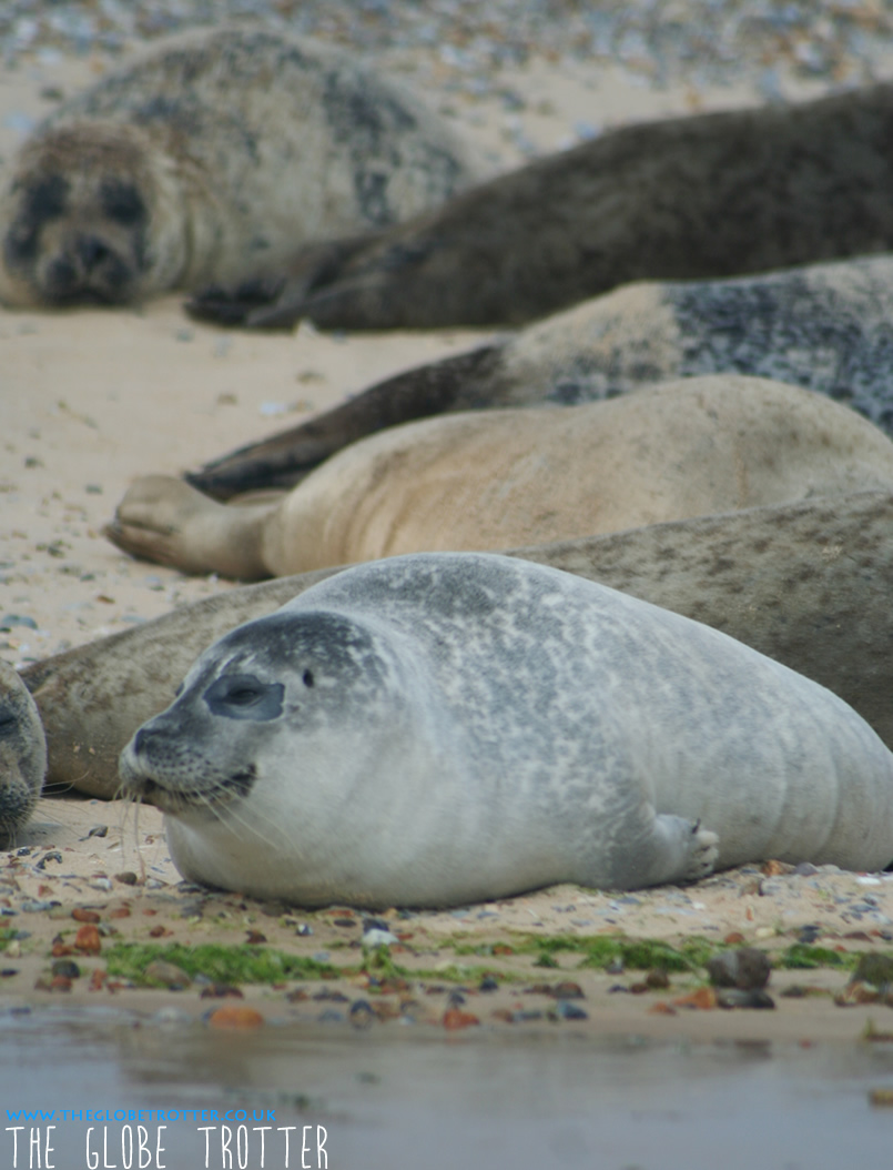 Seal watching at Blakeney Point Norfolk