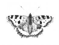 Tortoiseshell stipple illustration by Rachel M Scott