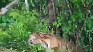 Hot News ! Video Tiga Ekor Harimau Sumatera Muncul di Air Mumu Kerinci