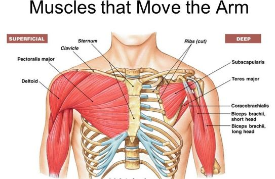 Anatomi otot bahu adalah otot-otot yang berada pada bahu manusia, hal ini bisa terjadi karena secara anatomi otot ini memiliki perlekatan origo dan insersi pada regio manusia. Maka dari itu artikel ini akan menyajikan anatomi otot bahu dan gambar anatomi otot bahu, untuk lebih detail mengenal otot-otot yang ada pada bahu silahkan simak dengan yang telah tersaji dibawah ini.
