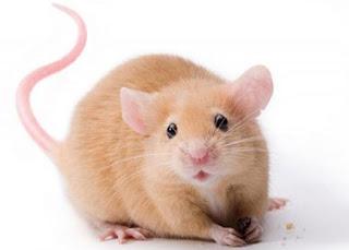 تفسير مشاهدة الفأر في الحلم