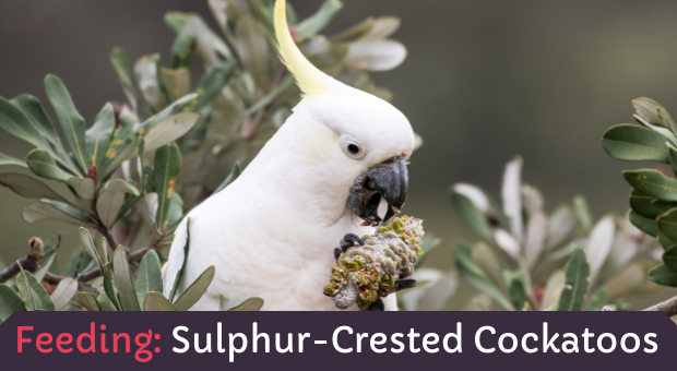how to feed Sulphur-Crested Cockatoos