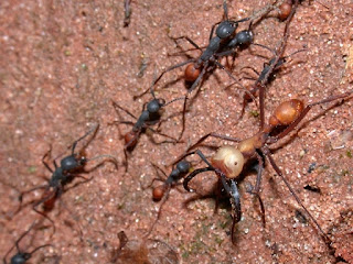 Eciton burchellii armed force ants