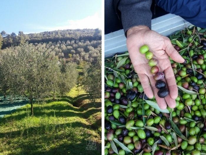 Jak powstaje oliwa z oliwek? Zbiory oliwek