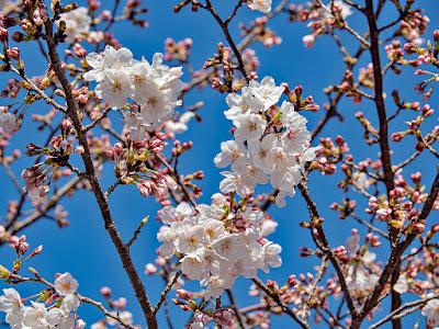 Sakura (Prunus × yedoensis.) flowers: Kencho-ji