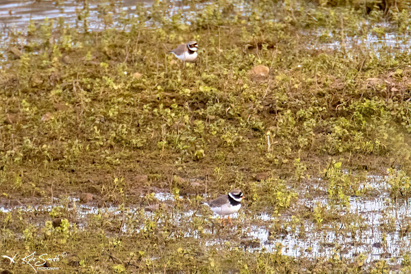 Ringed and little ringed plover