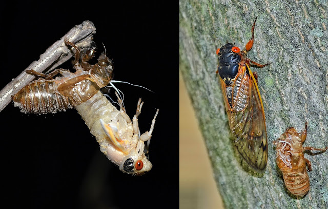 A cicada emerges from its shell; cicadas sit on a tree