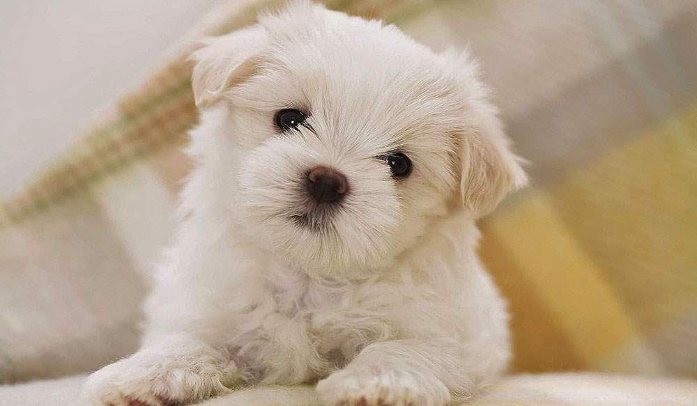Everything about your Bichon Frise