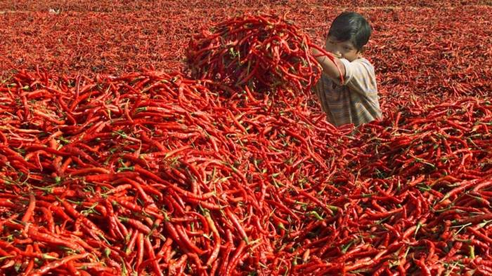 In the red sea of chili peppers, India