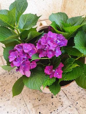 פרחי הורטנזיה בצבע סגול