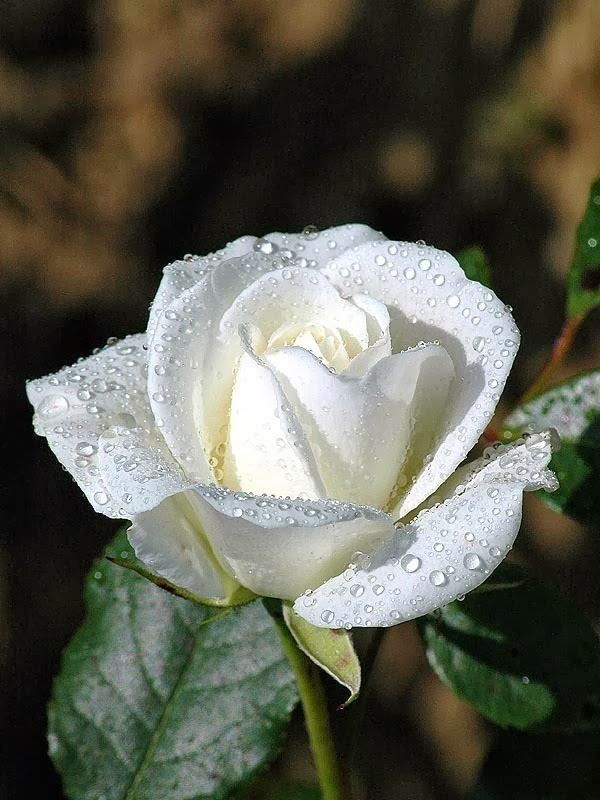 Gambar Bunga Ros Kartun Hitam Putih Cikimm Com